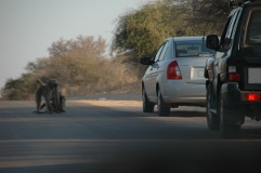 Baboons on road, Kruger National Park