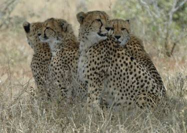 Speedy Cheetah The Fastest Mammal Kruger National Park Guide