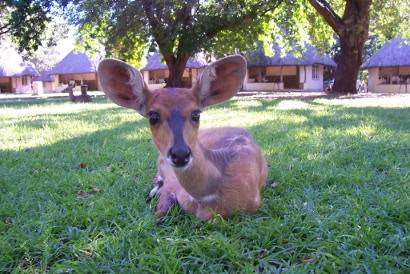 Bushbuck, Letaba Rest Camp