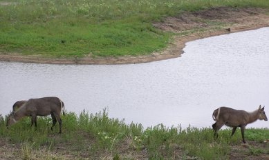 Waterbuck by river