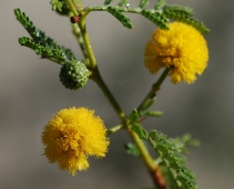Yellow acacia flower