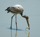 Yellow-billed stork with frog