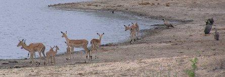 Impala at dam