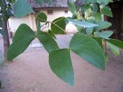 Butterfly-shaped leaves, mopani tree