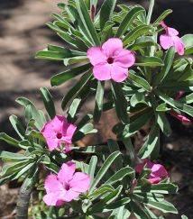 Pink flowers, Kruger National Park