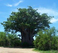 Southernmost baobab tree, Kruger National Park