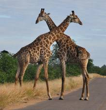 Giraffes crossing necks