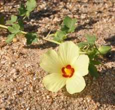 Rest Camp flower