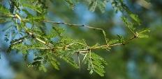 Acacia xanthophloea detail