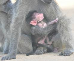 Baby baboon with mother