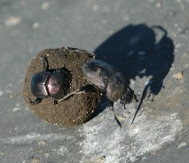 Dung beetles rolling elephant dung