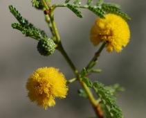 Yellow acacia flower