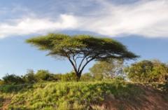 Umbrella thorn tree