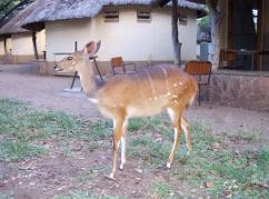 Bushbuck, Letaba Rest Camp