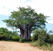 Southernmost baobab tree, Kruger National Park